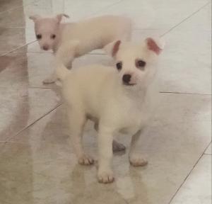 Excelentes cachorros chihuahua de 45 días